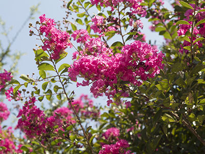 pink crepe myrtle clossoms