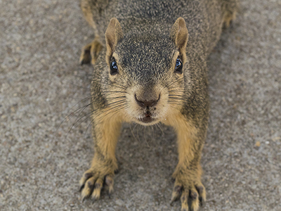 brown squirrel looking at the camera lens