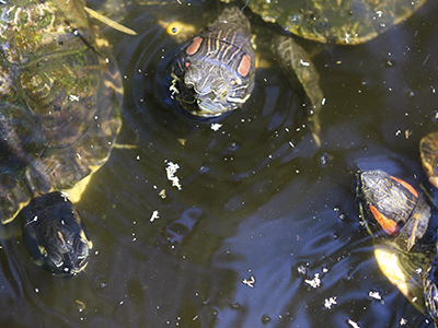 group of turtles in a pond
